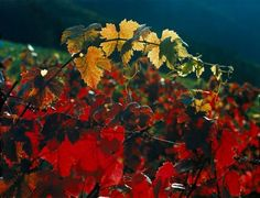 autumn at the German wine road - GNTB/Kaster, Andreas