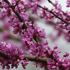Photo about Close up of Red Bud Tree Blooms. Image of north, animals, america - 655728 Long Flowers, Spring Flowers, Spring Tree, Spring Flowering Trees, Blooming Trees, Tree Seeds, Fruit Plants, Pink Petals, Flower Aesthetic