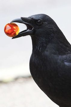 Crow with Marble