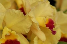"""Potinara John Passander """"Goldilocks"""" - Flickr - Photo Sharing!"""