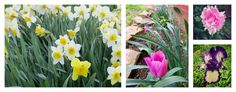 Plant bulbs this fall, from Farm and Dairy online columnist Ivory Harlow — Aug. 21, 2015
