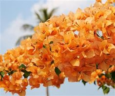 Tropical Plants, Tropical Flowers, Beach Flowers, Bougainvillea Colors, Dandelion Weed, Rooftop Garden, Landscaping Plants, Orange Flowers, Amazing Flowers