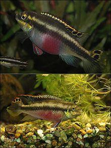 P Pulcher Male Female Jpg Betta Aquarium Aquarium Fish Cichlids