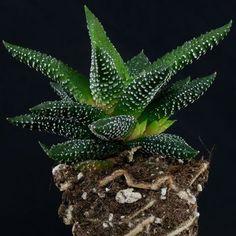 Gasteria disticha Agaves, Cacti And Succulents, Planting Succulents, Planta Alocasia, Cactus Identification, Plant Aesthetic, Cactus Y Suculentas, Echeveria, Houseplants