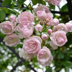 Ethel (Rambling Rose) | Peter Beales Roses - the World Leaders in Shrub, Climbing, Rambling and Standard Classic Roses