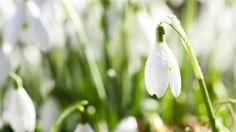 Free snowdrop Mac Wallpapers iMac Wallpapers Retina MacBook Pro