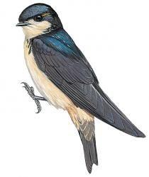 Preuss's Swallow (Petrochelidon preussi)