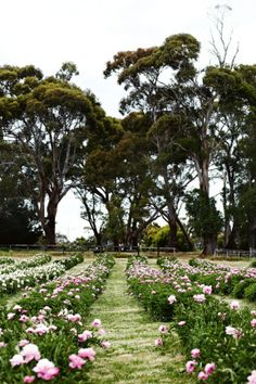 Peony farm tour. 10,000 peonies have been planted at Spring Hill peony farm in Victoria.
