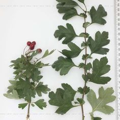 A faj kettős latin neve:Crataegus monogyna Magyar név:egybibés galagonya Család:Rosaceae Alcsalád:Maloideae Rend:Rosales Életforma:M Termés:csontáralma