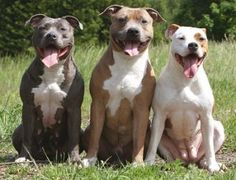 Pitbull Terrier Dog Breed History and Information - All About Breeds