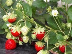 Fraisiers : Comment planter pailler et entretenir un fraisier ? Strawberries In Containers, Horticulture, Strawberry Plants, Permaculture, Garden Online, Plants, Strawberry Garden, Indoor Gardening Supplies, Gardening Supplies
