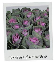 Brassica Empire Vera | New Arrival | Available in our webshop www.holex.com…