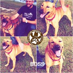 #Boss is so happy to get some extra love from a volunteer today. He would be happier if had a forever home or a foster. Boss is the man! Well, man's best friend! He is looking for you. This wonderful #Shepherd mix loves walks on a harness and to be petted. He is dog and people friendly and is such a love to cuddle with.  He has been at the ranch for a long time wishing his forever family would pick him. If you are looking for a loyal dog to love and he will love you forever in return then he…