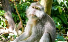 Affe auf Bali © Gudrun Krinzinger Best Of Bali, Gudrun, Animals, Last Minute Vacation, Bali Holiday Deals, Monkey, Animales, Animaux, Animal