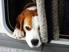 Beagle - Training Passive Dogs