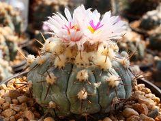 Echinocactus horizonthalonius v. subikii