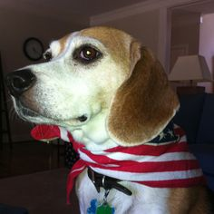 American Dog. Beagle! Not my Bailey, but cute nonetheless!