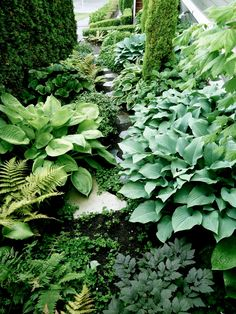 Hostas & ferns