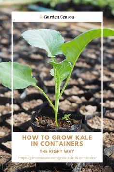 How to Grow Kale From Seedlings | For indoor seedlings, grow lights are ideal but not necessary. If grow lights are not available in your household, just place the growing trays on a bright windowsill and it will be as perfect. Easy Vegetables To Grow, Edible Garden, Grow Lights, Raised Garden Beds, Container Gardening, Kale, Trays, Cabbage, Household