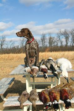 Gun Dog Magazine took an in depth look at one of the most versatile breeds of hunting dogs, the German Shorthaired Pointer. I Love Dogs, Cute Dogs, Hunting Dogs, Duck Hunting, German Shorthaired Pointer, Working Dogs, Beautiful Dogs, Dog Life, Dogs And Puppies