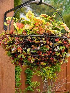 A colorful basket of coleus with sedum around the base