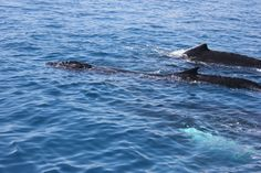 Freedom Whale Watch & Charters in Hervey Bay Queensland Fraser Island, Whale Watching, Early Bird, Whales, Great Photos, Freedom, October, Join, Action