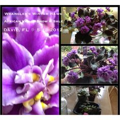 Look at this one from the African Violet Show & Sale at Flamingo Gardens, Davie Florida sponsored by the Violet Patch Society. Very informative show and sale of perfect plants. Paid $6.00 for this Wrangler's Winters Hawk.
