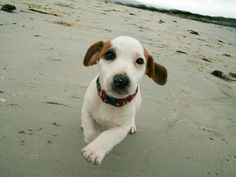 Jack Russell | A Definitive Ranking Of The Cutest Puppies