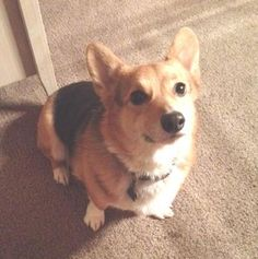 This sweet looking little #corgi is Murphy and he needs a home where he can be the center of attention. Murphy is 3 years old and his home life has changed with the addition of another #dog so his owners feel he would be happier where he doesn't have to share so much. http://www.doggielife.com/murphy-ii/dogs/X0BEYW