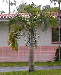 Palma botella, Palma astil, Palma ahusada, Palma fusiforme