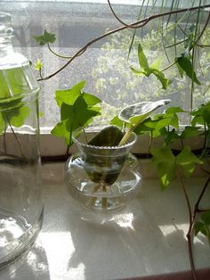 Indoor Vegetable Gardening Growing plants in water, whether houseplants or an indoor herb garden, is a great activity - especially for those who are plant watering challenged. Read this article to learn more. Indoor Water Garden, Indoor Vegetable Gardening, Organic Gardening Tips, Indoor Plants, Water Gardens, Herb Gardening, Gardening Vegetables, Gardening Hacks, Hydroponic Farming