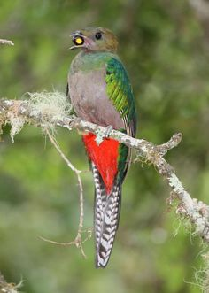 Resplendent Quetzal (Pharomachrus mocinno) Perched female with avocado fruit