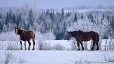 Horses at the crown of Maine ~ Paul Cyr Photography ~ love his work.