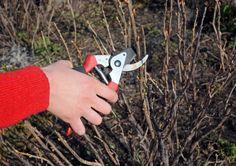 Angrešt a rybíz prosvětlíme, aby nezestárly | Zahrádkář Pruning Shears, Garden Tools, Compost, Gardening Scissors, Yard Tools