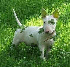St. Patrick's Day Shamrock dog