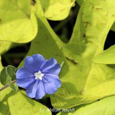 Blue Flower #Flower #Macro