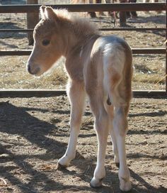 Palomino pinto Miniature foal named Dakota - from Ragland's Miniature Horses