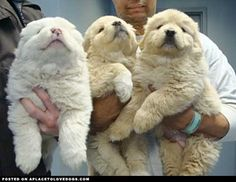 aplacetolovedogs:  Adorable trio of fluffy puppies. The fluffiest Great Pyrenees ever!! Original Article
