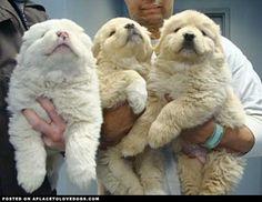 Fluffy Puppies