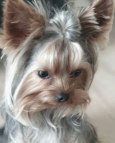 Yorshire Terrier, Terrier Breeds, Yorkie Dogs, Dogs And Puppies, Doggies, Cute Dog Photos, Cute Pictures, Pretty Animals, Cute Animals