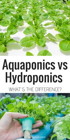 Are you interested in growing your own food? Have you seen the words hydroponics and aquaponics thrown around?Are you wondering what the difference is?This article is all about aquaponics vs hydroponics and which will be better for you. #garden #gardening #aquaponics #hydroponics