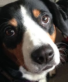 Entlebucher Mountain Dog breeder with puppy availability & photos breed… Entlebucher Mountain Dog, Mountain Dogs, Puppies For Sale, Creatures, Photos, Animals, Dog Breeds, Animales, Pictures