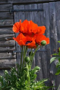 Red oriental poppy looks beautiful against a faded wood fence.