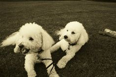 The loves of my life, my bichon frises