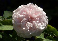Organic Garden Dreams: September Roses
