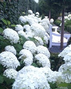Evening light in my white garden Thank you for the shoutout @thecreepingfig would love to be your garden soul sister and thanks for all the kind comments from my new insta garden friends #instagardenlovers #whitegarden #danishgarden #hortensia #garten #annabelle #myhome