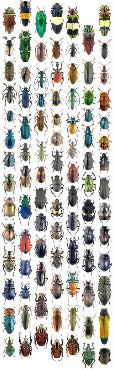 """The Creator, if He exists, has a special preference for beetles."" J. B. S. Haldane"