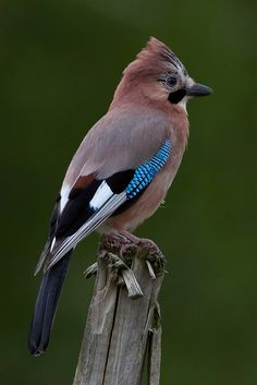 Eurasian jay - Gaig - Arrendajo. Yesterday I saw one of these while driving back home after work. They look so beautiful with those colours.