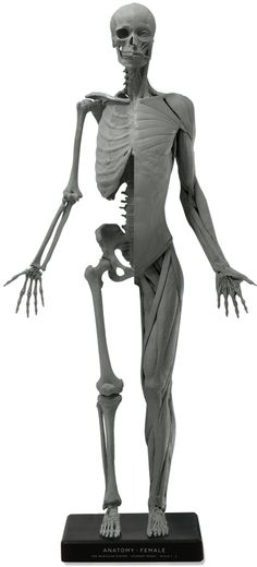 Female figure: Art-pro v2B Human Reference, Anatomy Reference, Photo Reference, Art Reference, Anatomy Study, Anatomy Drawing, Anatomy Art, Life Drawing, Figure Drawing