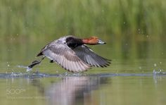 Speedster by jnsconstable #animals #animal #pet #pets #animales #animallovers #photooftheday #amazing #picoftheday